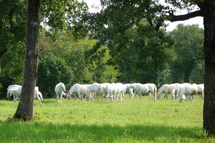 IndoEuropean Travels Europe 19 SLOVENIA Lipica Lipizzaner Horse