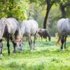 IndoEuropean Travels Europe 31 SLOVENIA Lipizzaner Horses